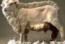 Får / Sheep