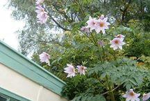 Bloom/Tree dahlia  Dahlia imperialis