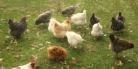 Backyard Chickens / by Julia Huisman