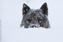 Norwegian Elkhounds & Huskies