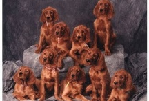 Irish Setter / The most beautiful of dogs I have had 3 setters, Major, Minor and Meghan Malley O'Tullamore,  however we have had a Standard Poodle, Molly Malone XII, 14 yrs RIP and part time a Boxer, Bandit, and my niece, Lynne a miniature Goldendoodle.                       / by mollybandit2