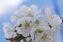 Rien de tel que de voir des fleurs de cerisiers