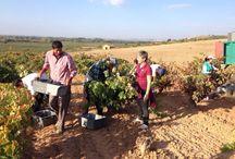 Vendimia 2014 / Grape Harvest 2014 / Fotos de la vendimia del 2014