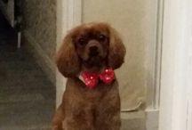 Cavalier  King Charles / Cute Ruby Cavalier