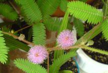 Mimoza wstydliwa (Mimosa pudica) / Mimoza wstydliwa (Mimosa pudica)