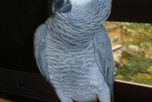 African Gray Parrot / African Grey