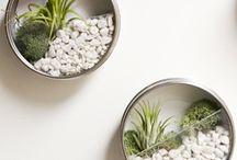 Air Plants - Tillandsias