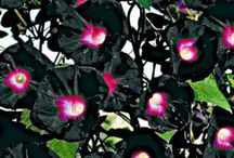 Siyah Çiçekler