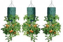 cultivar tomates invertidos en botellas de plástico