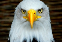 Eagles / Lift your head , spread your wings and soar like an Eagle.....