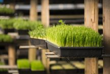 Our Washington Wheatgrass and Sprout Farm / Our farm grows beautiful wheatgrass, peas shoots and sunflower greens which we deliver all over the Seattle area.