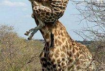 žirafy