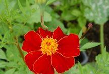 Röda blommor