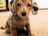 *~*  I Love Doxie's *~*