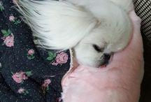 Precious Pekingese
