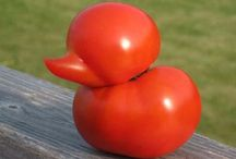 tomato love / Tomatoes are delicious! Here are some tips on looking after them!
