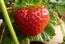Gardening- Strawberries
