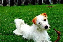 Majk - rodzinny pupil / Piesek, jack russell terrier, parson russell terrier,
