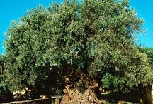 News about Olive Oil
