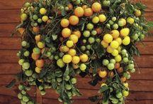 Yard: Garden Tomato