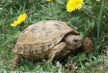 #TurboPascal / Info about Russian Tortoise / by Ine Wo