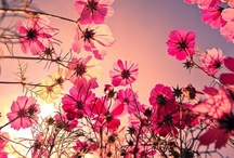 Cosmos Flower / simply