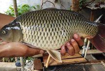 Umpan Ikan Mas Galatama
