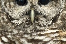 Research: Barred Owls