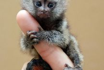 Pygmy marmosets / How cute are these?!