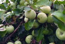 green apples / green apples in the garden