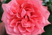 Garden Roses / All of the Garden Roses you see are sold at Stevens and Son Wholesale Florist in Arvada, Colorado. They delivery locally and out of state within the United States Territory,