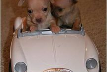 I love Chihuahua's! / Sweet and cute  pictures of chihuahuas!   / by Barbara Goforth