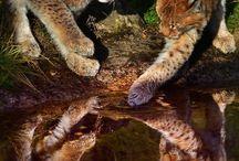 northern lynx kittens n more