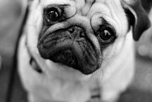 Pugs and other cuties