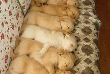 Golden Retrievers & Friends / by Colleen Chaney