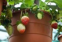 Frutas en macetas