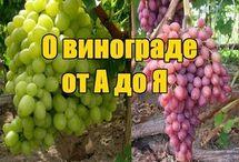 Выращивание виноград