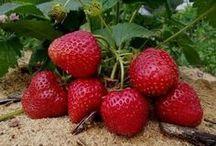 клубника. правила выращивания