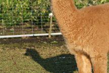 Alpaca / Alles wat leuk is rondom alpaca's