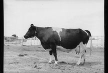 """Fertile Ground / Old black and white photos of farmers, their families, homes, and towns; research for Animal Engine's two person prairie love story based on the works of Willa Cather: """"The Incredibly True Story of Petunia and Chicken"""" / by Karim Muasher"""