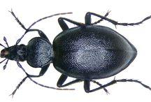 carabidae carabinae cichrini