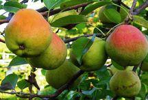 Como plantar pera.