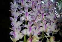 Orchid/ Anggrek