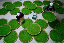 Fabrication du thé