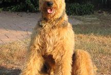 perros airdale terrier