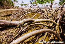 Mangrove tree create world important ecosystem