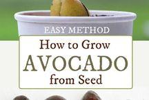 avocado growing