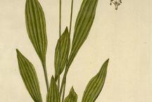 Herbs / Zioła / Ziołecznictwo