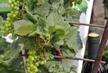 Videiras de uva