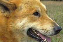 Canaan / Today, there are about 1000 Canaan Dogs in the United States, 400 in Israel, and 200 in the rest of the world (estimation). The Canaan Dog became part of the Herding Group of the American Kennel Club on August 12, 1997. Canaan Dogs in the United States today compete in conformation, herding, agility, obedience, and tracking. But most are beloved family pets! See more at: http://www.noahsdogs.com/m/dogs/breed/Canaan#sthash.HXrnfdZe.dpuf www.NoahsDogs.com